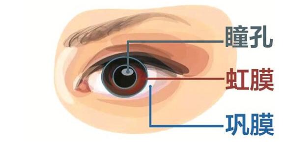 图1:虹膜在眼球中的位置